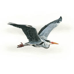 Airone cenerino in volo, Grey Heron in flight