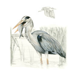Airone cenerino, Grey Heron at the nest
