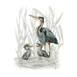 AirAirone rosso al nido, Purple Heron at the nest - Birds - Illustrations - Animals