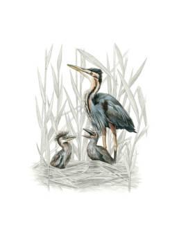 AirAirone rosso al nido, Purple Heron at the nest - Birds - Illustrations - Animals
