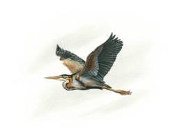 Airone rosso in volo, Purple Heron in flight