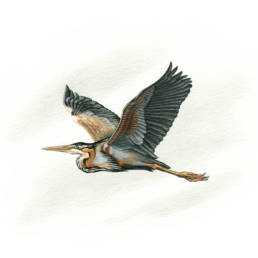 Airone rosso in volo, Purple Heron in flight