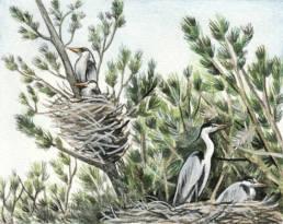 Aironi - garzaia, Heronry
