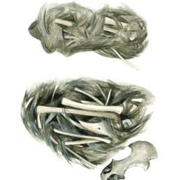 Allocco – borre, Tawny Owl - pellets, Strix aluco