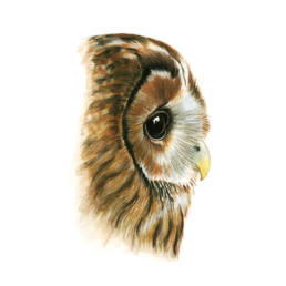 Allocco – occhi e becco, Tawny Owl - eyes and beak, Strix aluco