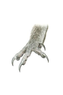 Allocco - artigli, Tawny Owl - claws - Strix aluco