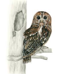 Allocco, Tawny Owl - Strix aluco
