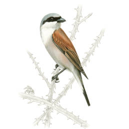 Averla piccola, Red-backed Shrike - Lanius collurio