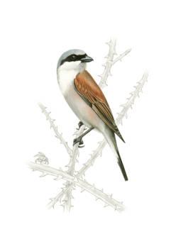 Averla piccola, Red-backed Shrike - Lanius collurio