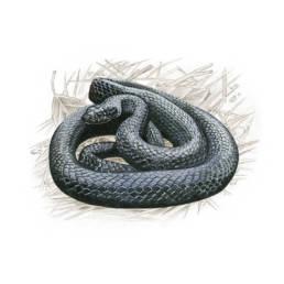 Biacco - nero, Green Whip Snake - black - Hierophis viridiflavus