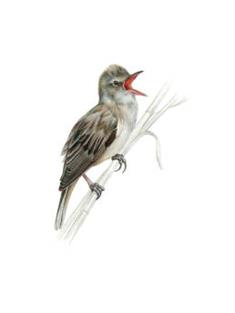 Cannareccione, GreatReed Warbler - Acrocephalus arundinaceus