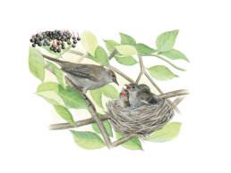 Capinera - femmina al nido, Blackcap - female at the nest - Sylvia atricapilla