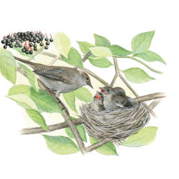 Capinera - femmina al nido, Blackcap - female at the nest - Sylvia atricapilla