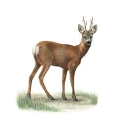 Capriolo, Roe Deer - Capreolus capreolus