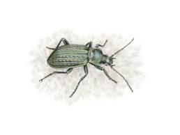 Carabo, Ground Beetle - Carabus granulatus