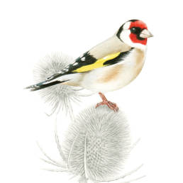 Cardellino, Goldfinch - Carduelis carduelis