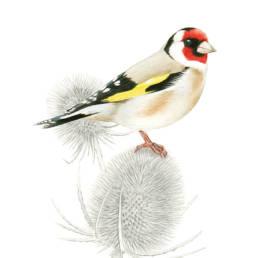 Cardellino, Goldfinch - Carduelis carduelis