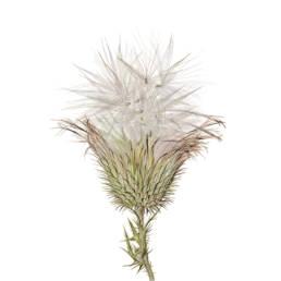 Cardo asinino, Bank Thistle - Cirsium vulgare, 2019