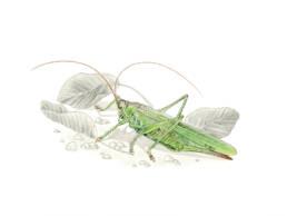 Cavalletta, Great Green Bush-Cricket - Tettigonia viridissima
