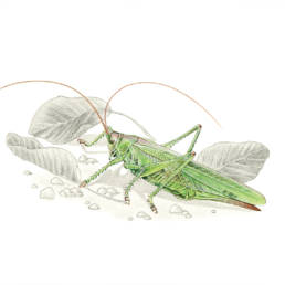 Cavalletta, Great Green Bush-Cricket - Tettigonia viridissima