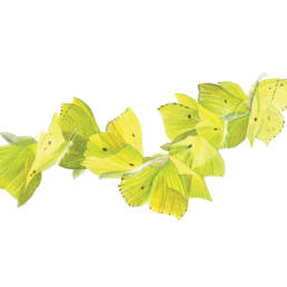 Cedronella – volo, Brimstone Butterfly - fliyng - Gonepteryx rhamni