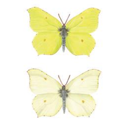 Cedronella - dimorfismo, Brimstone Butterfly - dimorphism - Gonepteryx rhamni