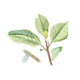 Cedronella - metamorfosi, Brimstone Butterfly - metamorphosis - Gonepteryx rhamni