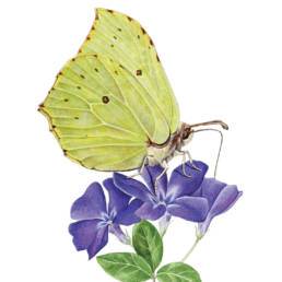 Cedronella, Brimstone Butterfly - Gonepteryx rhamni