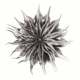 Cencio molle, Velvetleaf - Abutilon theophrasti, 2011