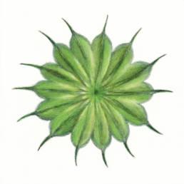 Cencio molle, Velvetleaf - Abutilon theophrasti