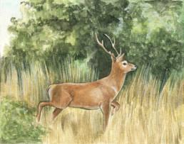 Cervo europeo, Red Deer - Cervus elaphus