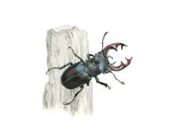 Cervo volante, Stag Beetle - Lucanus cervus