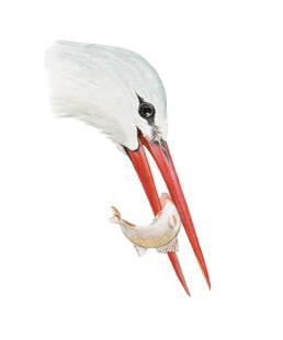Cicogna bianca – becco, White Stork - beak - Ciconia ciconia