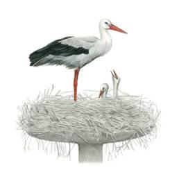 Cicogna bianca al nido, White Stork - Ciconia ciconia