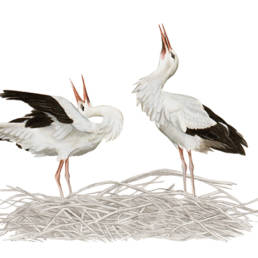 Cicogna bianca - saluto, White Stork - display - Ciconia ciconia