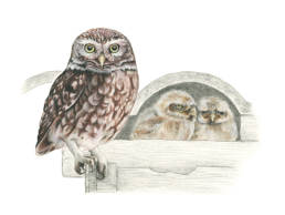 Civetta, Little Owl - Athene noctua