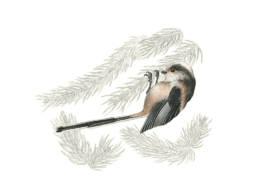 Codibugnolo, Long-tailed Tit - Aegithalos caudatus
