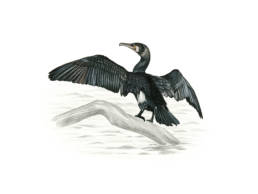 Cormorano, Great Cormorant - Phalacrocorax carbo