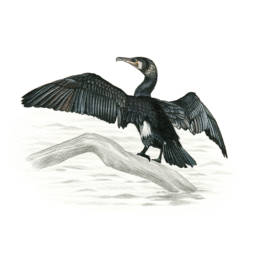 Cormorano, Great Cormorant - Phalacrocorax carbo