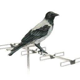 Cornacchia grigia, Hooded Crow - Corvus corone cornix