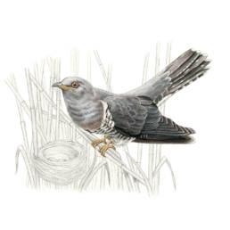 Cuculo, Common Cuckoo - Cuculus canorus