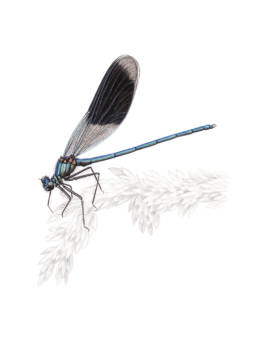 Damigella, Banded Demoiselle - Calopteryx splendens