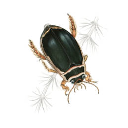 Ditisco, Great Diving Beetle - Dytiscus marginalis
