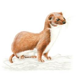 Donnola, Least Weasel - Mustela nivalis