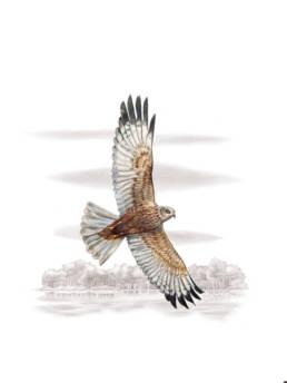 Falco di palude, Western Marsh-harrier - Circus aeruginosus