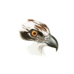 Falco pescatore – occhio e becco, Osprey - eye and beak - Pandion haliaetus