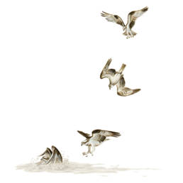 Falco pescatore – tecniche di caccia, Osprey - hunting techniques - Pandion haliaetus