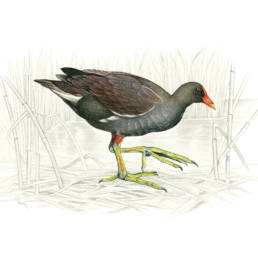 Gallinella d'acqua, Common Moorhen - Gallinula chloropus
