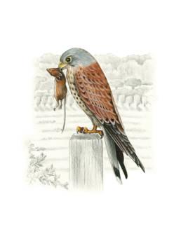 Gheppio, Common Kestrel - Falco tinnunculus