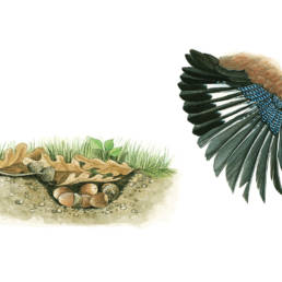 Ghiandaia – ala e buca, Jay - wing and ground hollow - Garrulus glandarius
